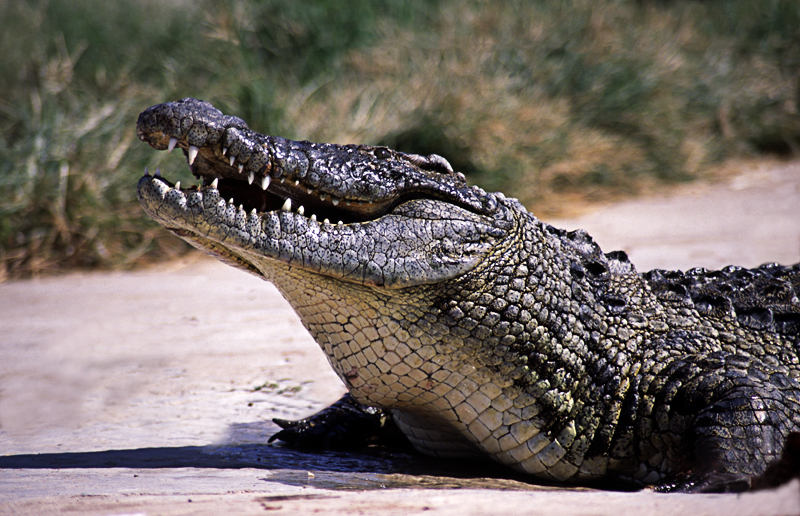 Crocodile or Alligator? He'd tell you, but then he'll have to kill you
