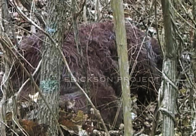 Sleeping Bigfoot or a discarded shag rug?